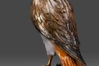 red-tailed-hawk back view